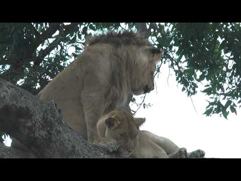 Lion mating on a tree in Masai Mara National Park Kenya