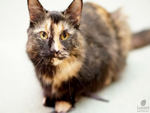 Domestic Mediumhair Cat Breed Guide And Facts About