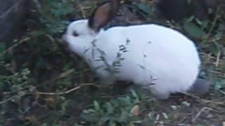 мои кролики бегают во дворе