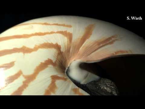 Nautilus and Ammonite
