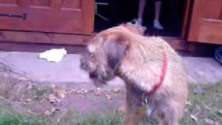 Border Terrier Casie