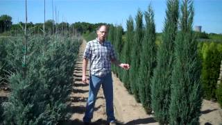 Thuja Nigra and Upright Junipers @ LCN