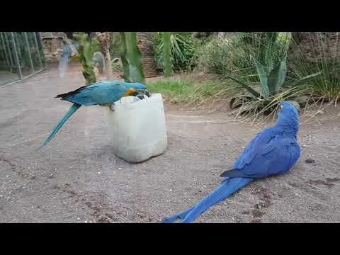 Hyacinth macaw and Blue-throated macaw