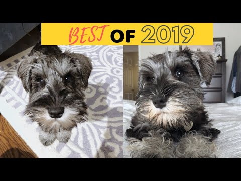CUTE MINIATURE SCHNAUZER PUPPY COMPILATION | BEST OF 2019