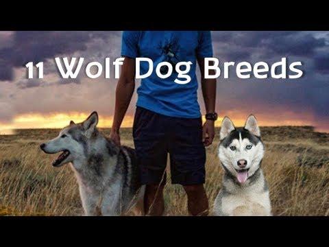 11 Wolf Dogs (Wolf Hybrid Dog Breeds)
