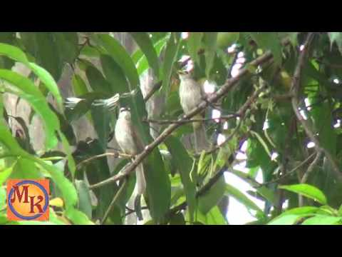 burung cerukcuk atau merbah cerukcuk (trucukan) - burung bulbul