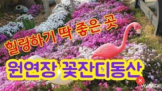 원연장 꽃잔디마을,  진안꽃잔디축제, Flower gr…