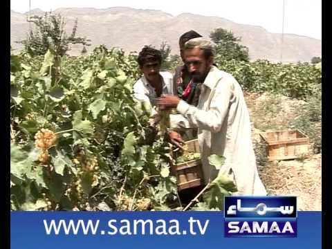 Quetta Grapes pkg.mp4