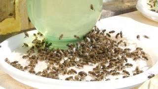 Пчёлки пьют солёную воду