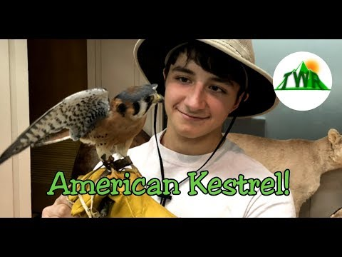 The Smallest Falcon in North America - The American Kestrel!