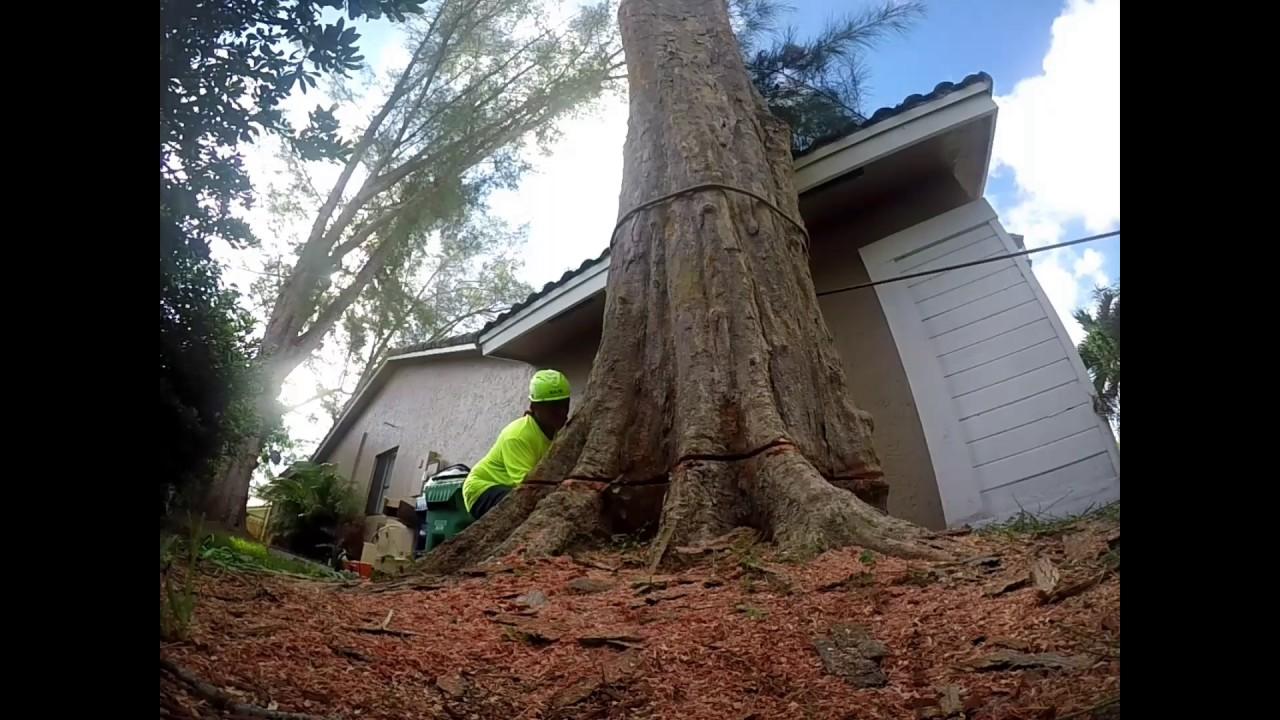 Australian Pine Removal Revised