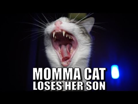 Talking Kitty Cat 58 - Momma Cat Loses Her Son