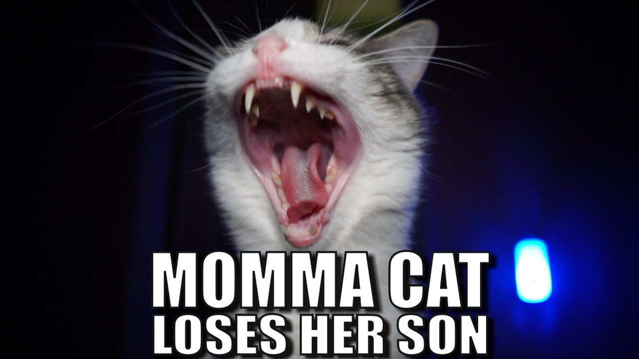 talking-kitty-cat-58-momma-cat-loses-her-son