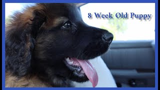 First Week with our Leonberger Puppy || A Look Back