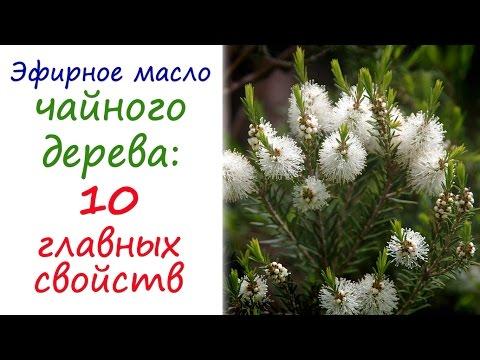 Масло чайного дерева: эфирное масло №1 в любой аптечке | ароматические | ароматерапия | натуральные | применение | аромамасла | свойства | эфирных | эфирные | эфирное | масла