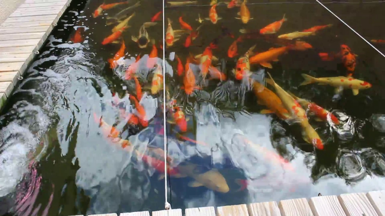 2017 january cold weather koi pond vid youtube for Koi pond temperature