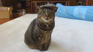 たくさん毛が抜けたねこと、ハイテンションな子ねこ。-Maru's fallen furs and excited Kitten Miri.-