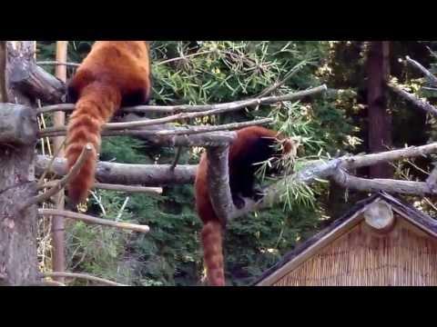 Red Pandas Sequoia Park Zoo