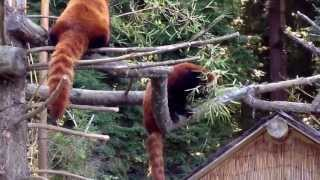 Red Pandas Sequoia Park Zoo