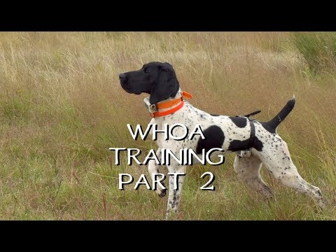 Teaching Your Dog Whoa Part 2 - Upland Bird Dog Training