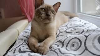 Барни. Бурма. Бурманский котенок. Шоколадная бурма. Питомник Нала Алтана Burmese cattery Nala Altana