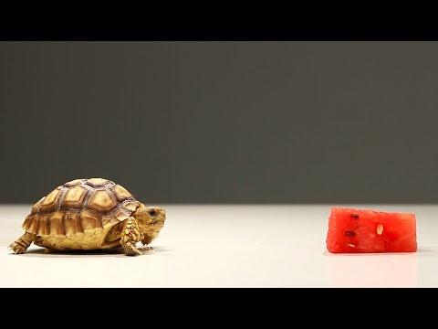 Baby Tortoise Tries Watermelon