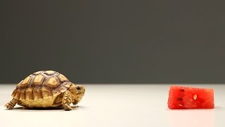 Baby Tortoise Tries Watermelon