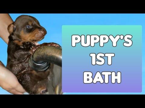 Bathing Doberman Puppies - It's Their 1st Bath