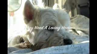 West Highland Rescue - Westie Terrier Dogs Need Homes.m4v