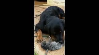 Rottweiler Fathers Kitten