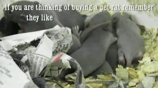 Pet Baby Rats, New born litters of pet rats.