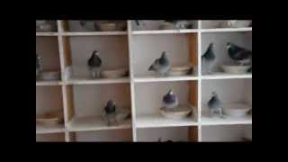 Gołębie Tosnowca - Asy przestworzy - 0...