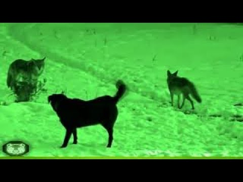 ROTTWEILER vs COYOTE (PERRO SALVA A SU AMIGO)(THE DOG SAVES FRIEND FROM BECOMING THE COYOTE'S FOOD)