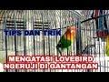 Mengatasi Lovebird Ngeruji Atau Ngerekel Digantangan Manjur  Mp3 - Mp4 Download