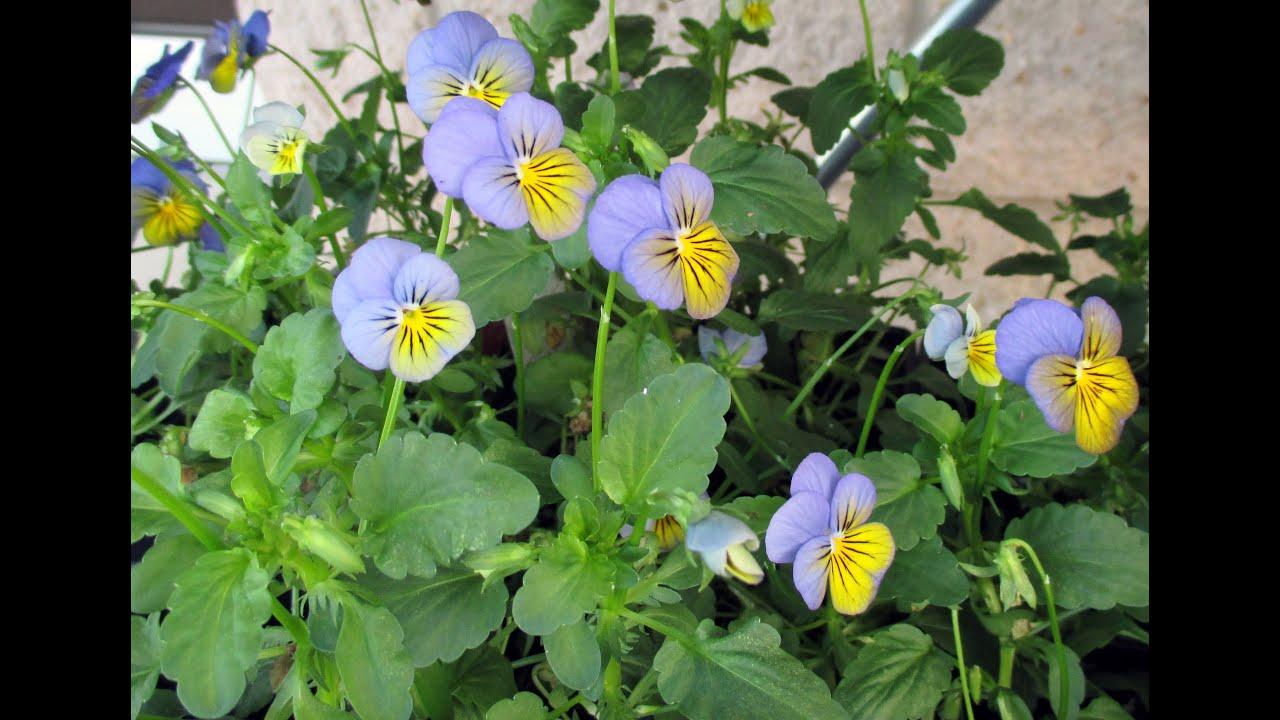 When sow viola seedlings. Recommended - planting viola seeds on seedlings 39