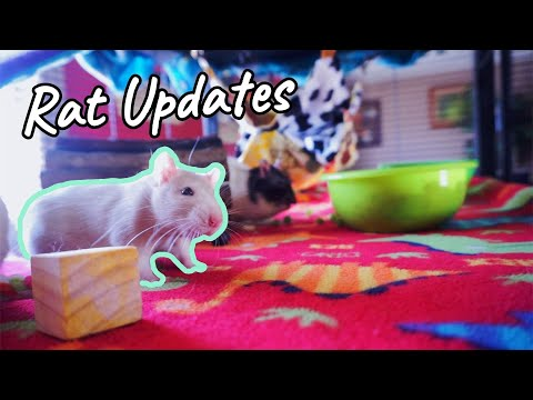 Rat Updates | Introductions, Vet Visit, & Cage Cleaning