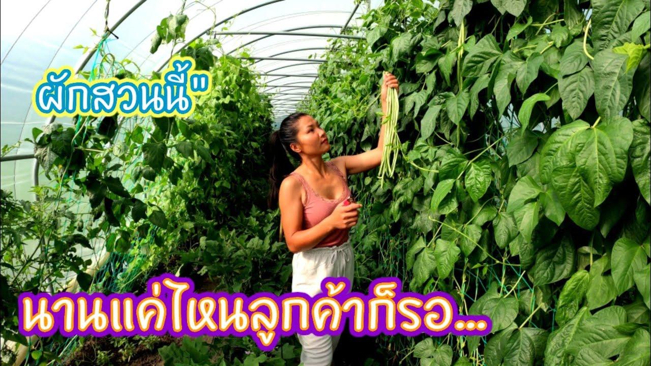 Ep239 เก็บผักช่วงเช้าส่งลูกค้า อุตส่าห์รอมานานเกือบ 2 เดือน ผักสวนนี้จองข้ามเดือนกันเลย