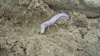 Cobra-cega (cecilia) Amphisbaena Alba
