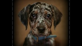 9 Week Old Catahoula Leopard Dog Obedience