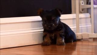 Yorkshire Terrier Puppies For Sale February 25, 2015