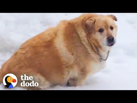 173-Pound Golden Retriever Loses Over 100 Pounds | The Dodo