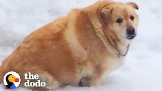 173-pound-golden-retriever-loses-over-100-pounds-the-dodo