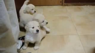 関東千葉県で生まれたゴールデンレトリーバーの子犬達! 2016.07.24生の...