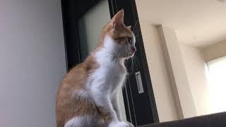 マンチカン姉妹☆子猫☆ふみゆり☆猫カフェ.