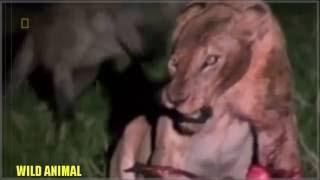 Львы против Гиен. Борьба за выживание HD