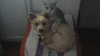 Серая кошка Гера и рыжий пес Кутуз играют на кровати