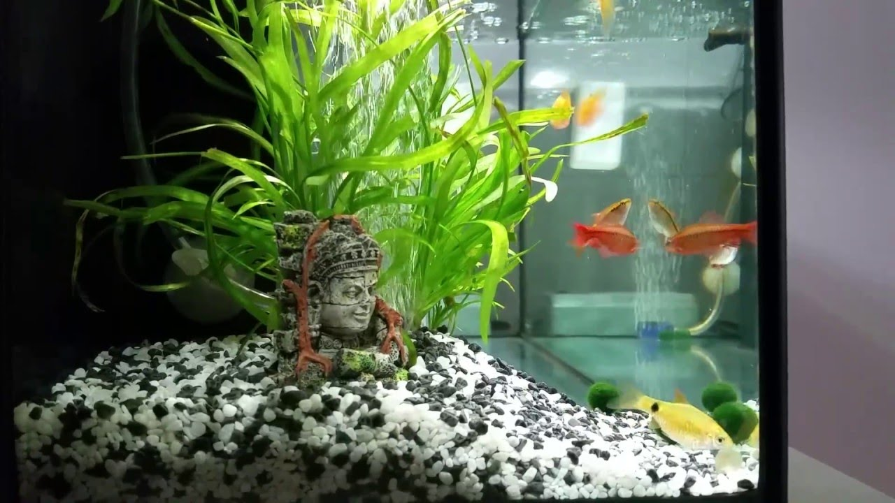 Cherry barb rosy barb my first fish tank youtube for First fish tank