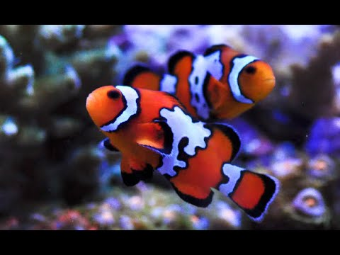 livestock lowdown ocellaris clownfish nemo black ice snowflake