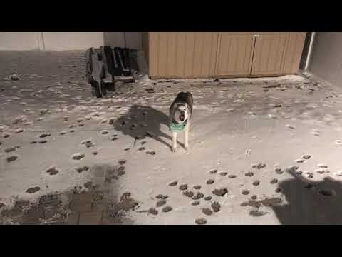 Husky Refuses to Enter the House & It's Damn Funny!
