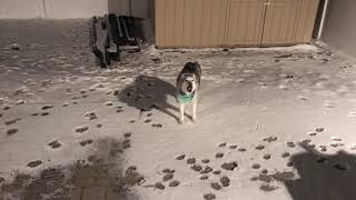 Husky's defiance makes mom mad
